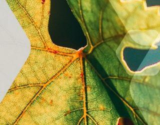 Die Darstellung eines Weinblatts für das Projekt PLANTY2LEARN